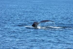 Fisherman's Wharf Walvis staartvin