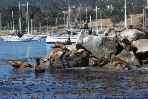 Fisherman's Wharf Zeeleeuwen