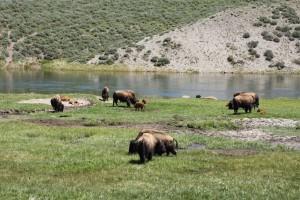 Kudde bisons